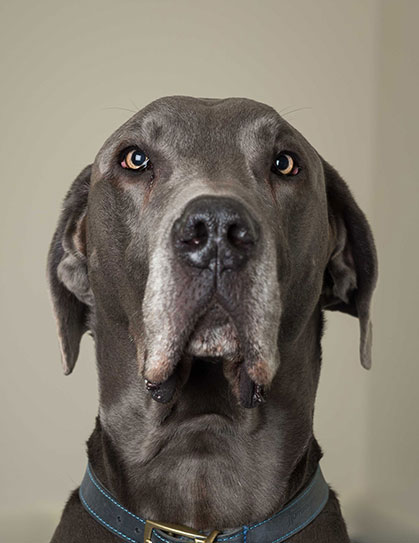 Harry - Great Dane